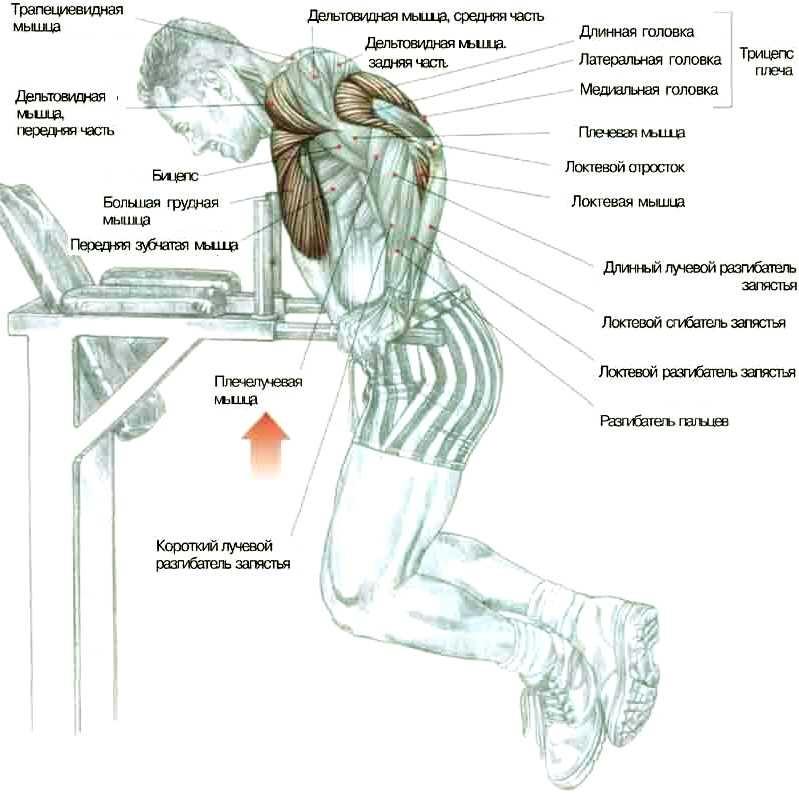Анатомия отжиманий на брусьях