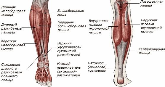 Анатомическая схема икроножной мышцы