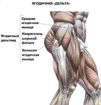 Анатомия ягодичных мышц и бедер или немного теории