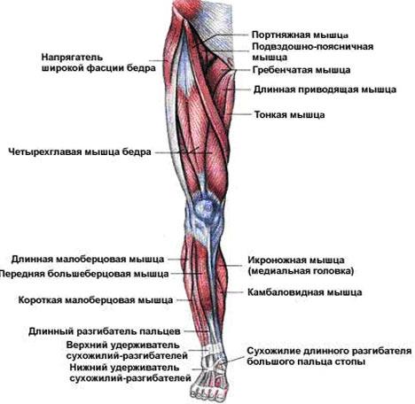 как накачать мышцы бёдер