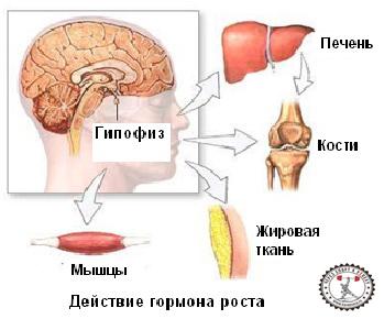 гормон роста для мышц