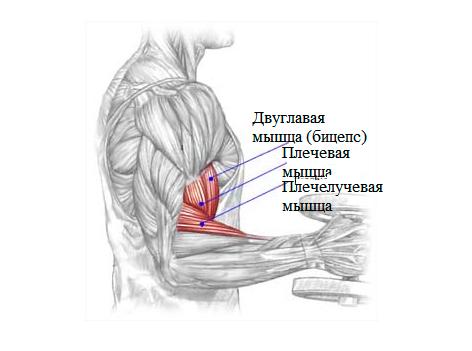 Анатомия бицепса